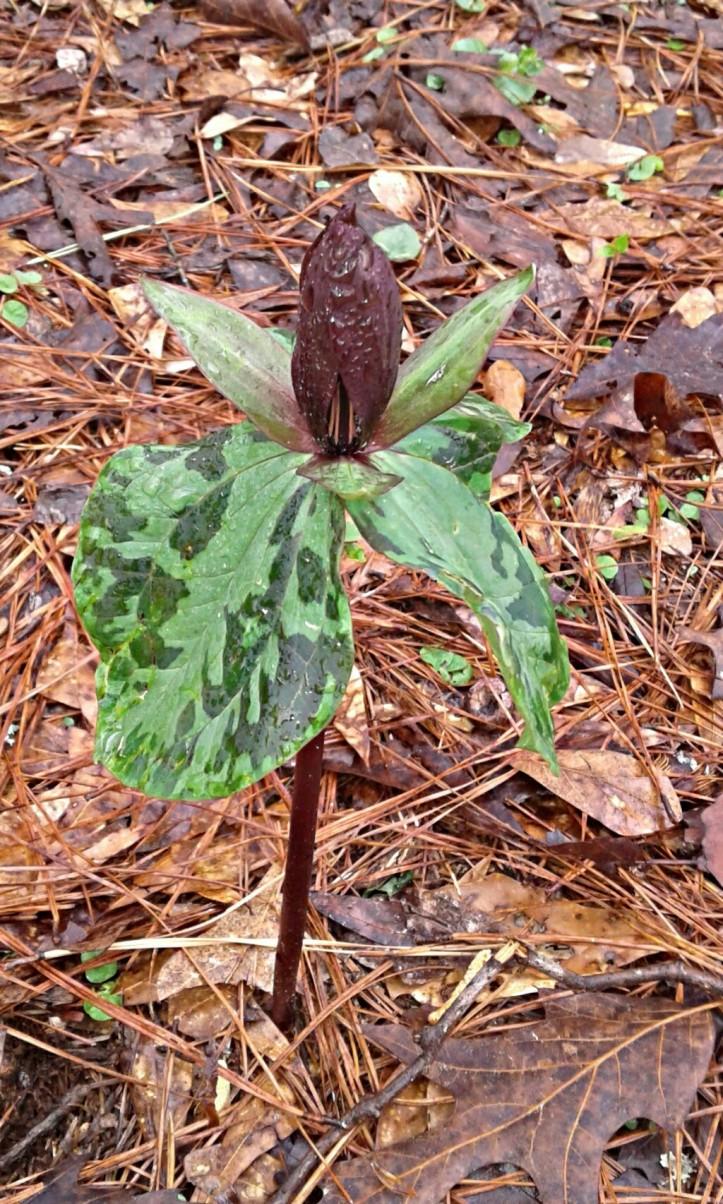 Trillium bloom in our woods